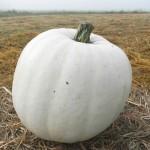 lumina pumpkins